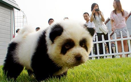 chinese-dog-dying-panda